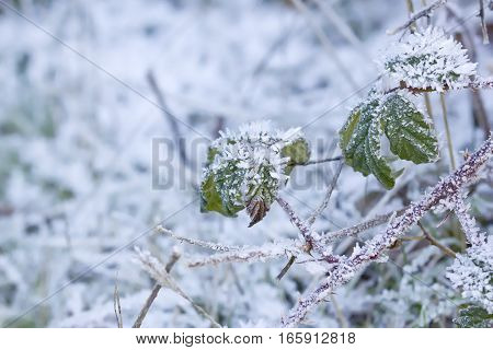 Closeup image of frozen leaves surviving the winter.