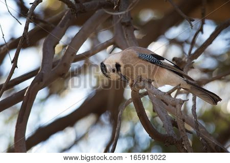 Eurasian Jay Eating Some Found Nutlet