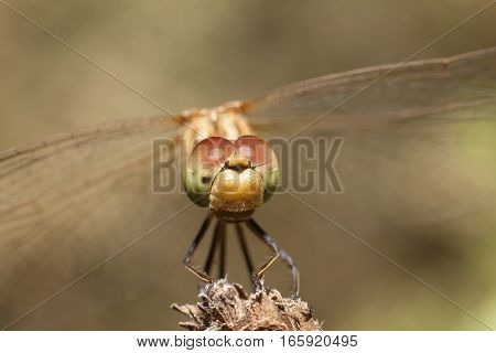 dragonfly with large eyes insect macro closeup