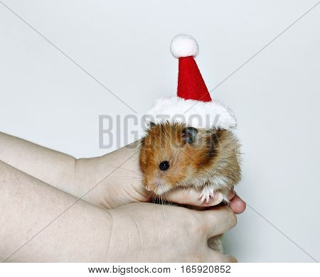 Brown hamster in the cap of Santa Claus in hands