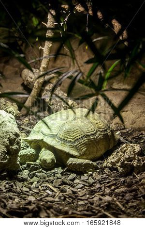 Green tortoise resting in its natural environment.