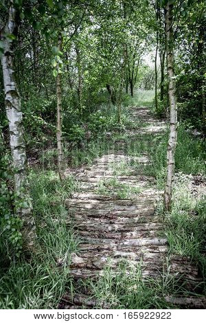 A wooden log pathway running through a small wood of Silver Birch trees Holland.