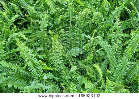 Background Pattern Horizontal of Pteridophyta or Tassle Ferns Textured or Green Bush.