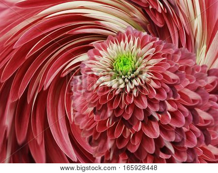 red-pink flowers chrysanthemum. red-pink background. floral collage. flower composition. For design.