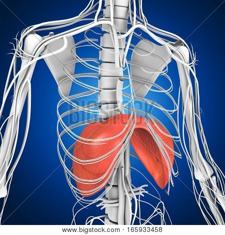 In human anatomy, the thoracic diaphragm, or simply the diaphragm , is a sheet of internal skeletal muscle that extends across the bottom of the rib cage.