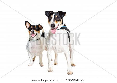 Jack Russell Terrier and fox terrier, isolated on white. Friends
