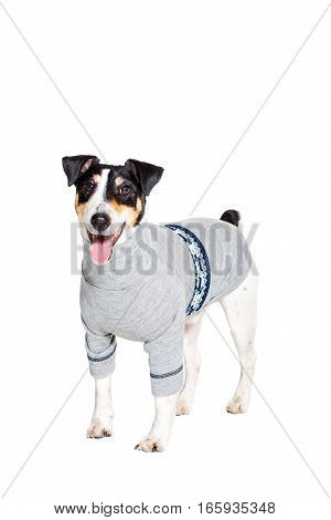 Portrait of a purebred smooth fox terrier of white background. Dog clothes. Dog stands on feet