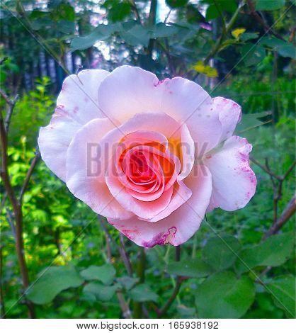 Diamond in the rough single rose image.