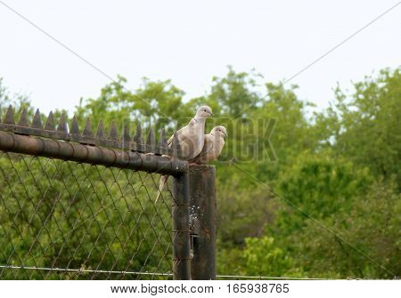 Photo of two doves sitting on a fence