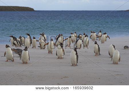 Gentoo Penguins (Pygoscelis papua) and Magellanic Penguins (Spheniscus magellanicus) on a large sandy beach on Bleaker Island in the Falkland Islands.