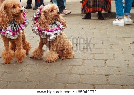 Two cut poodles dressed in interesting clothes sit on the sidewalk and look aside