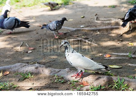 Some Pretty Pigeons Stand On The Ground In The Park Looking For Tasty Seeds To Eat