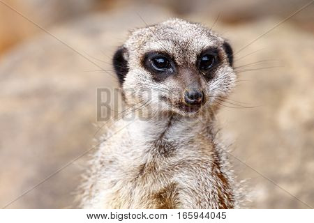 Meerkat Looking Straight At You.