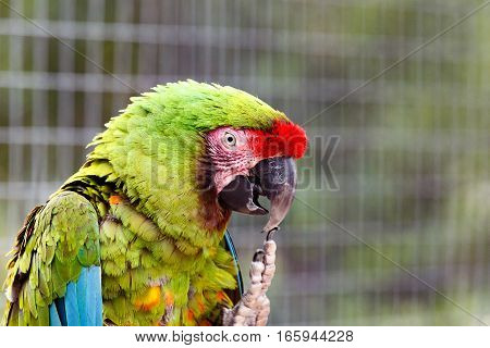 Parrot Scratching His Beak With His Claws