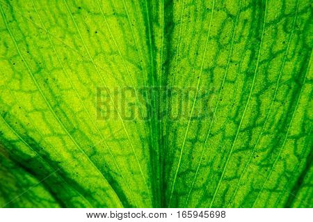Macro of a green leaf with the sun as the light source that shows a beautifully detailed texture.