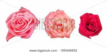 Beautiful pink and red roses isolated on white background.Set of flowers