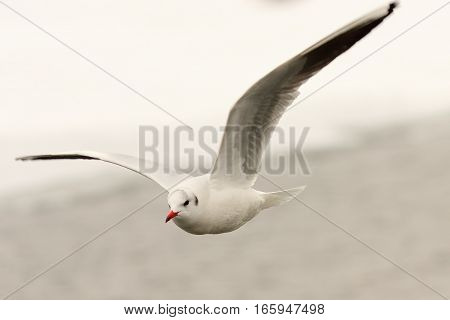 black headed gull in the air ( Chroicocephalus ridibundus ) bird in flight image