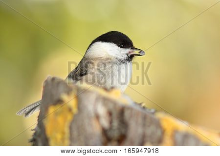 coal tit with seed in its beak at garden bird feeder ( Periparus ater )
