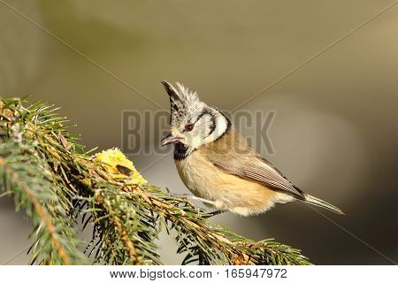 european crested tit standing on fir twig tanding ( Lophophanes cristatus )