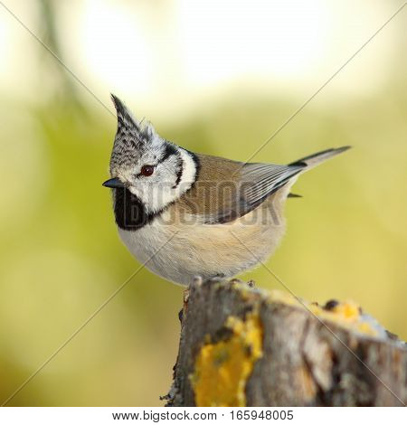 crested tit perched on a stump in the garden ( Lophophanes cristatus ) over out of focus background