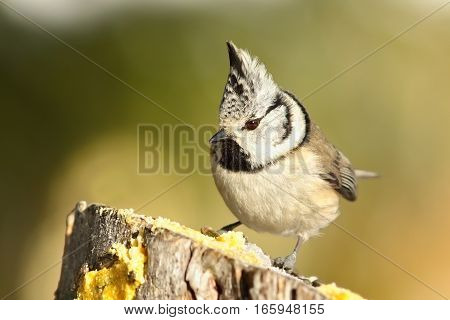 cute garden bird perched on wooden stump ( Lophophanes cristatus - the european crested tit )