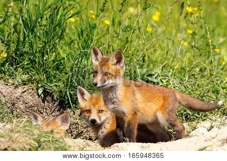 family of young european red fox cubs near the den ( Vulpes )