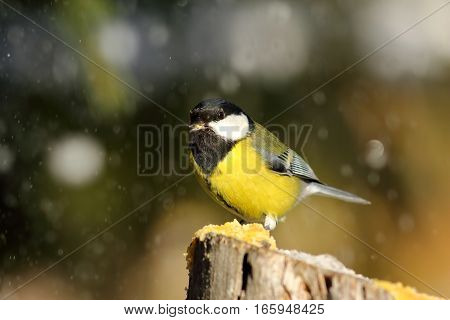 hungry great tit eating lard in a snowy day ( Parus major )