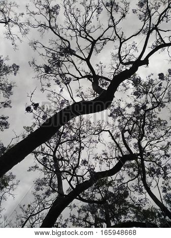 Black and white jacaranda tree against cloudy sky