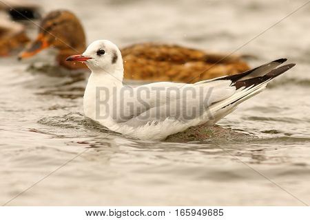 juvenile black headed gull floating on water surface ( Chroicocephalus ridibundus )