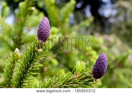 Close-up branch of spruce with young purple pine cones in spring.