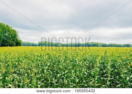 extensive green corn field on a cloudy day