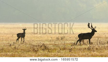 young and old fallow deers on autumn meadow ( Dama )