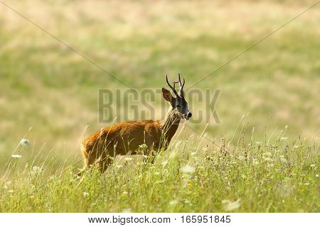 wild roe deer buck walking on natural meadow ( Capreolus )