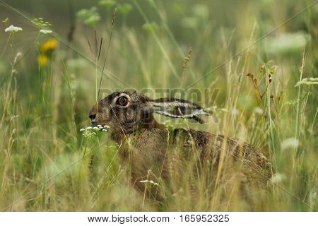wild hare hiding in big grass at dawn ( Lepus europaeus )