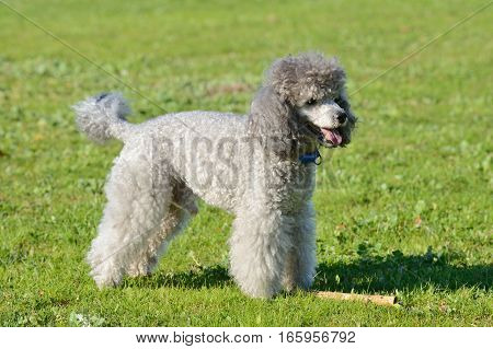 image of gray poodle on a green lawn