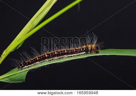 Common Duffer Caterpillar
