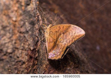 Common Duffer Butterfly