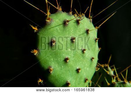 Macro of a green cactus with the sun as the light source that shows a beautifully detailed texture with thorns.