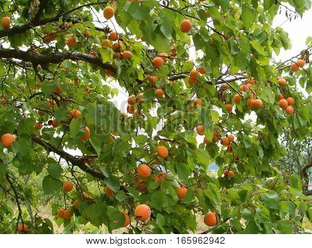 Picture of an apricot tree filled with apricots