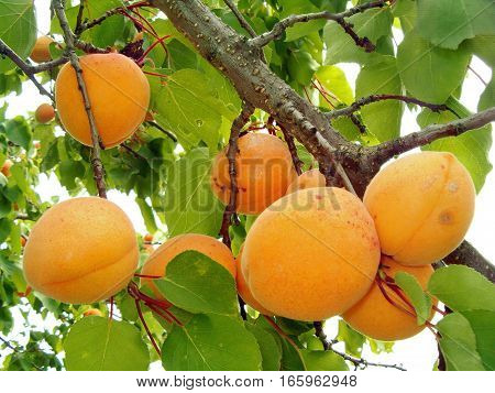 Picture of a tree branch filled with apricots