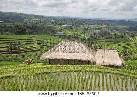 hut in a rice fields in Ubud, Bali, Indonesia