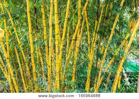 Bamboo trunk in tropical forest at a rainforest