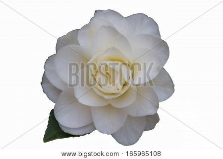 isolated white roses in the garden for holidays