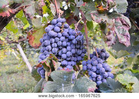 Vineyard Ready To Produce Wine