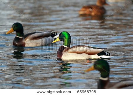 Portrait Of A Male Duck In The Pond With Other Waterfowl