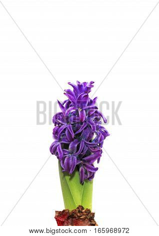 the hyacinth plant with green leaves and beautiful purple flowers on a white isolated background