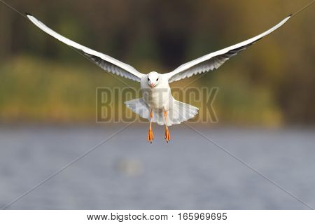 Seagull in flight with spread wings over water