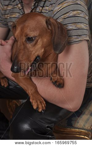 Cute Puppy dachshund breed in human hands