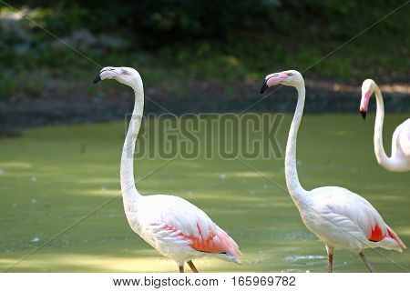 Beautiful Portrait Of A Pink Flamingo On A Background Of Green Vegetation