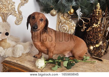 Dachshund puppy gentleman with a white rose